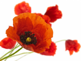 half_Poppies and Peace.png